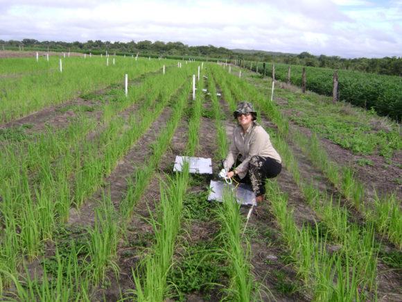 Utsläpp av N2O från jordbruket kan eventuellt minskas med biokol. På bilden undersöker Marcia de Melo Carvalho biokolets inverkan i en risodling i Brasilien. Bild: Laissa Gabriele Vieira Gonçalves (CC BY-NC-SA 2.0)