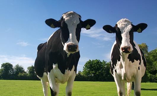 Jordbruket är en stor källa till metanutsläpp. Källa: Forskning&Framsteg 2013.